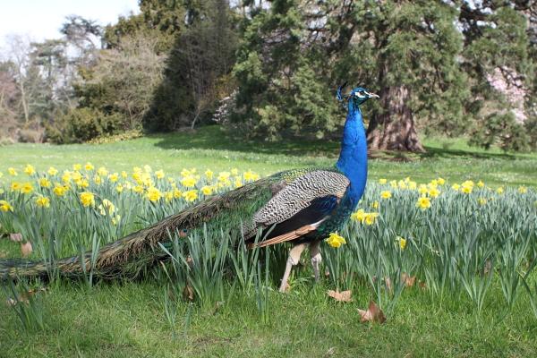 Un paon au parc de Bagatelle. Photo © Alan Miller 2012.