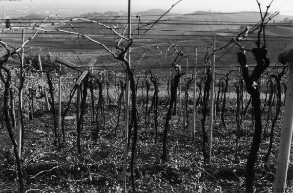 Inama's vines. Photo by Giò Martorana.
