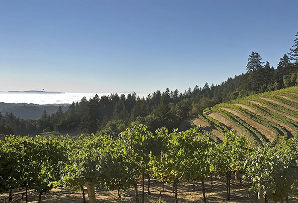 The mountain-side vineyard on Mt. Veeder.